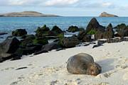 Galapagos Sea Lion Sleeping On Beach Print by Sami Sarkis