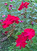 Red Geraniums Prints - 3 Geranium Flowers and Zinnia Print by Padre Art