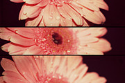 Rain Digital Art - Gerber Daisy by Cathie Tyler