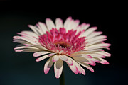 Watermelon Photo Prints - Gerbera Print by Amanda Barcon