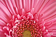 Salmon Art - Gerbera flower by Elena Elisseeva