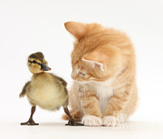 Baby Bird Photos - Ginger Kitten And Mallard Duckling by Mark Taylor