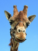 Jeepee Aero - Giraffe Close Up