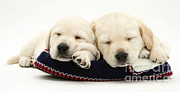 Sleeping Baby Animal Posters - Golden Retriever Puppies Poster by Jane Burton