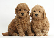 Goldendoodle Prints - Goldendoodle Puppies Print by Mark Taylor