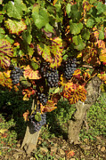 Vines Photos - Grapes growing on vine by Bernard Jaubert