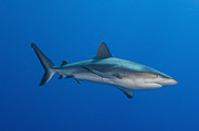 Gray Reef Shark, Kimbe Bay, Papua New Print by Steve Jones