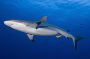 New Britain Framed Prints - Gray Reef Shark. Papua New Guinea Framed Print by Steve Jones