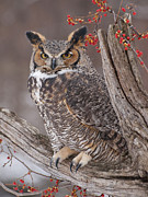 Great Horned Owl Print by Cindy Lindow