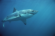 Great White Death Photos - Great White Shark Carcharodon by Mike Parry