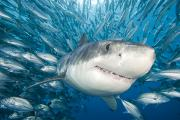 White Shark Prints - Great White Shark Print by Dave Fleetham - Printscapes