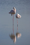 Flamingos Art - Greater Flamingo Phoenicopterus Ruber by Konrad Wothe