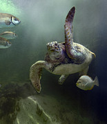 Borneo Prints - Green Sea Turtle Chelonia Mydas Print by Tim Fitzharris