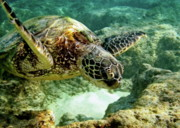 Green Sea Turtle Photos - Green Sea Turtle by Michael Peychich
