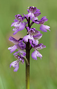 Monocotyledon Photos - Green-winged Orchid (anacamptis Morio) by Adrian Bicker