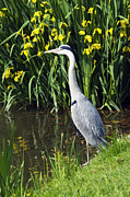 Ardea Framed Prints - Grey Heron Framed Print by Georgette Douwma