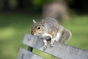 Bushy Tail Photos - Grey Squirrel by Georgette Douwma