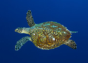 Hawksbill Sea Turtle Posters - Hawksbill Sea Turtle, Kimbe Bay, Papua Poster by Steve Jones