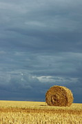 Bale Metal Prints - Hay bales in harvested corn field Metal Print by Sami Sarkis
