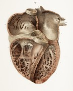 Human Heart Posters - Heart Anatomy, 19th Century Illustration Poster by