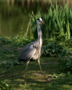 Pond In Park Prints - Heron Posing Print by Valia Bradshaw