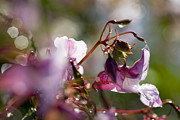 Impatiens Flowers Photos - Himalayan Balsam (impatiens Glandulifera) by Dr Keith Wheeler
