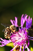 Nectar Metal Prints - Honey bee Metal Print by Elena Elisseeva