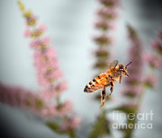 Bee In Flight Prints - Honey Bee In Flight Print by Ted Kinsman