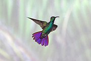 Multi Colored Framed Prints - Hummingbird Framed Print by David Tipling
