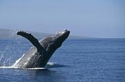 Humpback Whale Breaching Maui Hawaii Print by Flip Nicklin