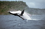 Backs Prints - Humpback Whale Megaptera Novaeangliae Print by Mike Parry
