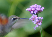 Ruby-throated Hummingbird Photos - Hungry Hummingbird by Robert E Alter Reflections of Infinity