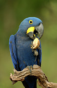Hyacinth Macaw Framed Prints - Hyacinth Macaw Anodorhynchus Framed Print by Pete Oxford