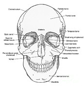 Perpendicular Prints - Illustration Of Anterior Skull Print by Science Source