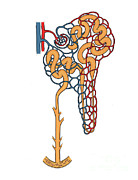 Histology Photos - Illustration Of Nephron by Science Source