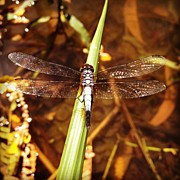 Insect Photos - #insect  #nature #dragonfly by Sooonism Heng