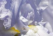 Tony Cordoza - Iris Flowers