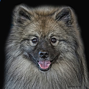 Akc Framed Prints - Keeshond Framed Print by Larry Linton