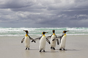 Spheniscidae Photos - King Penguin Aptenodytes Patagonicus by Ingo Arndt