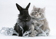 Kitten And Rabbit Getting Into Tinsel Print by Mark Taylor