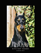 Dobie Acrylic Prints - Knock Out Acrylic Print by Rita Kay Adams