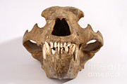 Kodiak Photos - Kodiak Bear Skull by Ted Kinsman