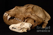 Kodiak Island Prints - Kodiak Bear Skull With Coyote Skull Print by Ted Kinsman