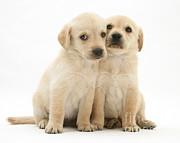 Labrador Retriever Puppies Print by Jane Burton