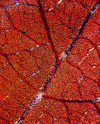 Leaf Surface Art - Leaf Anatomy, Light Micrograph by Dr Keith Wheeler