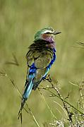 Kenya Photos - Lilac-Breasted Roller by Michele Burgess
