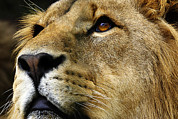 Panthera Photo Posters - Lion Poster by Linda Wright
