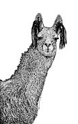 Pen  Drawings - Llama by Karl Addison