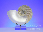 Marine Mollusc Prints - Logarithmic Spiral Print by Photo Researchers, Inc.