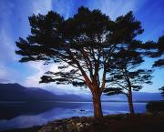 Reflection Of Tree Prints - Lough Leane, Lakes Of Killarney Print by The Irish Image Collection